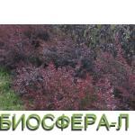3.berberis-thunbergii-atropurpurea-3.jpg