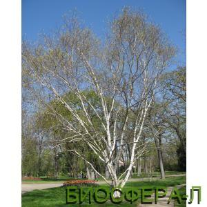 Береза полезная Жакмона Дооренбос Betula utilis var. Jacquemontii.jpg