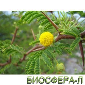Акация_Туртулоза_Acacia tortuosa.jpg