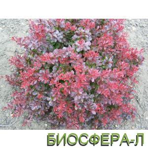 3.Atroperpurea.jpg